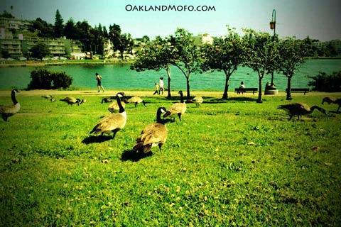Geese lake merritt